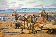 Zebras and Wildebeest Diorama – Carnegie Museum of Natural History, Pittsburgh, Pennsylvania
