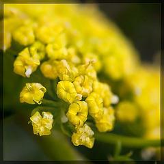 Hall's Desert Parsley: The 15th Flower of Spring!