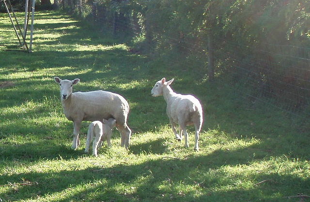 sheep paddock