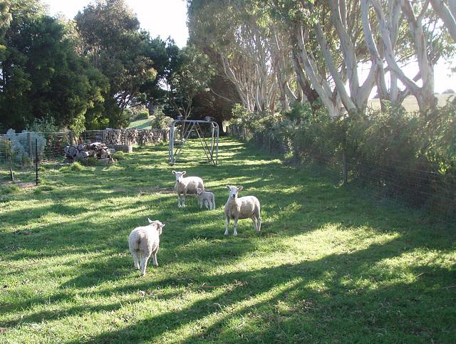 sheep paddock