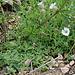 Silene uniflora - Maritima