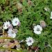 Silene uniflora - Maritima (2)