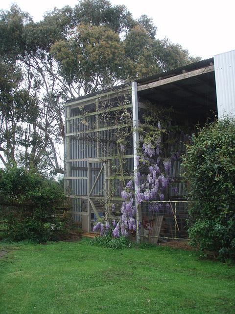 chookhouse wisteria