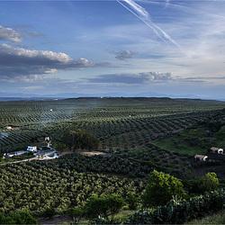 Ejercitos de olivos