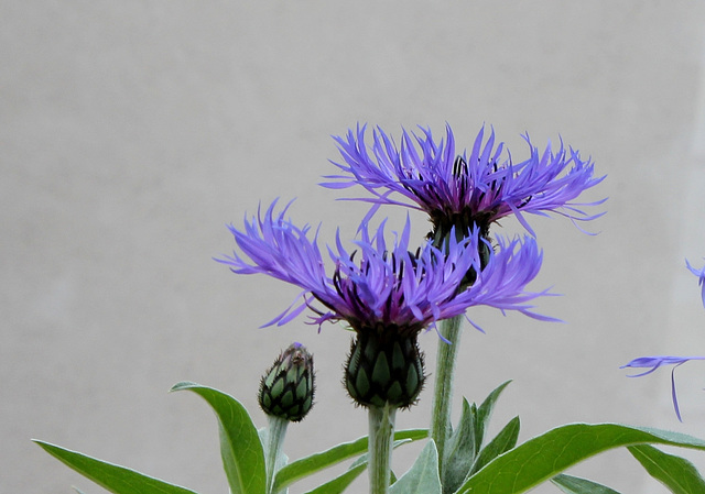 Centaurea montana - Cyanea montana