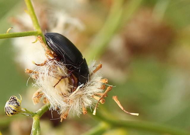 Ground Beetle Munchin