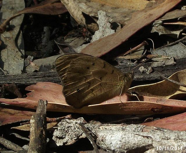 Heteronympha merope Male