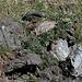 Sempervivum tectorum (2)