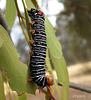 Comocrus behri Caterpillar (Late Instar)