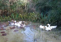 geese & ducks: good mates
