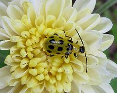 Spotted Cucumber Beetle on Chrysanthemum