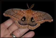 Our Own Mothra, the Giant Silkworm Moth!