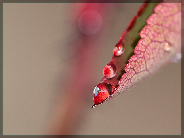 String of Water Pearls on a Rose Leaf [EXPLORE] #5!! TYVM!