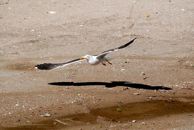 Low-flying gull