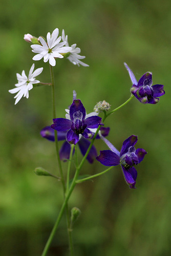 Slender Woodland Star and Upland Larkspur