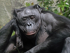 Reclining Chimp