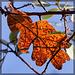 Glowing Oak Leaf Against the Sky