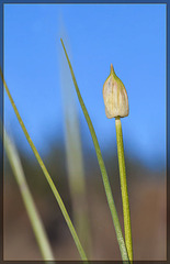 Swamp Onion: The 49th Flower of Spring!