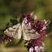 Treble-bar Moth Feeding