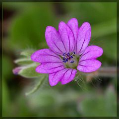 Lovely Little Weed: the Cut-Leaved Geranium Blossom