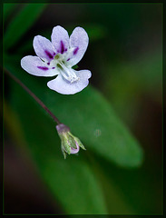 Small-flowered Tonella: The 45th Flower of Spring!