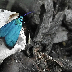 Pollanisus viridipulverulenta