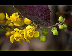 Oregon-grape Blossoms