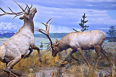 Rocky Mountain Elk Diorama – Carnegie Museum of Natural History, Pittsburgh, Pennsylvania
