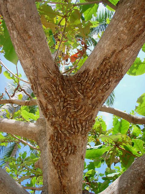 masses of caterpillars