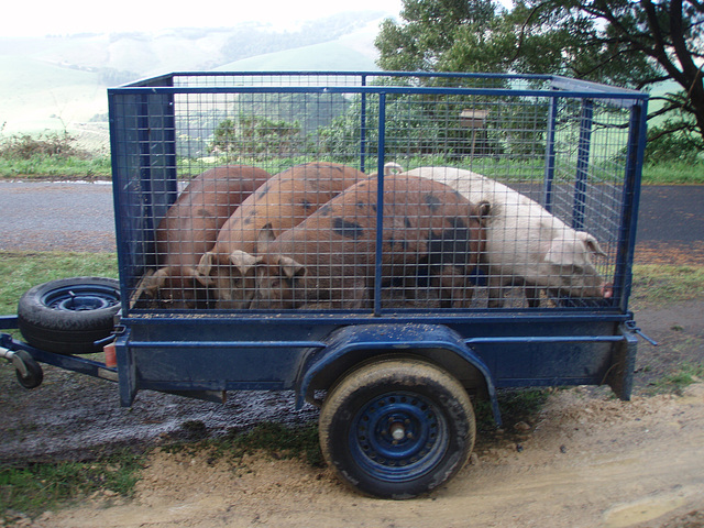 these little piggies went to market