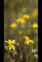 Goldfields: The 37th Flower of Spring!