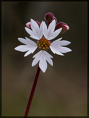 San Francisco Woodland Star: the 39th Flower of Spring!