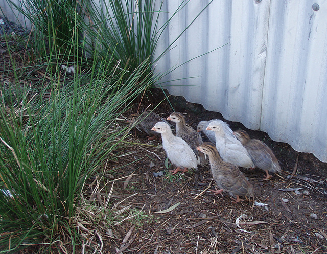 guinea fowl keets at 2 weeks old