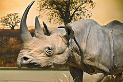 Black Rhinoceros – Carnegie Museum of Natural History, Pittsburgh, Pennsylvania