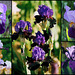 Iris Neglecta- Bitones bleus - violets