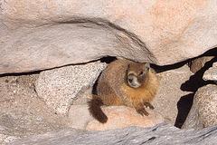 Whitney Marmot
