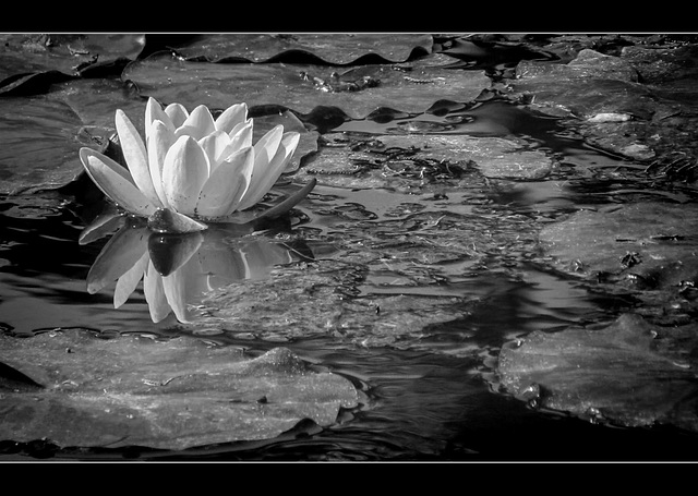 San Francisco Zoo: Water Lily