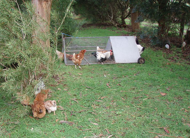 chooks and the new duck pen