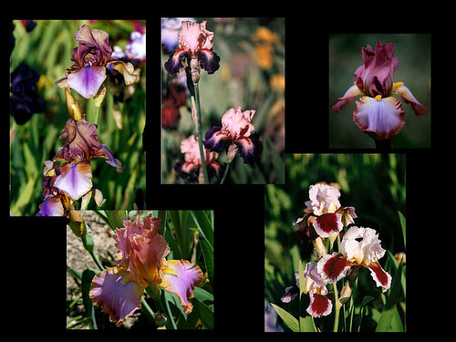 Iris Inclassables