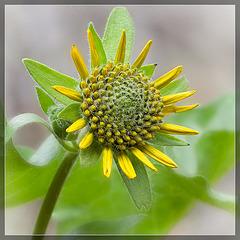 Narrowleaf Mule's Ears: The 35th Flower of Spring!