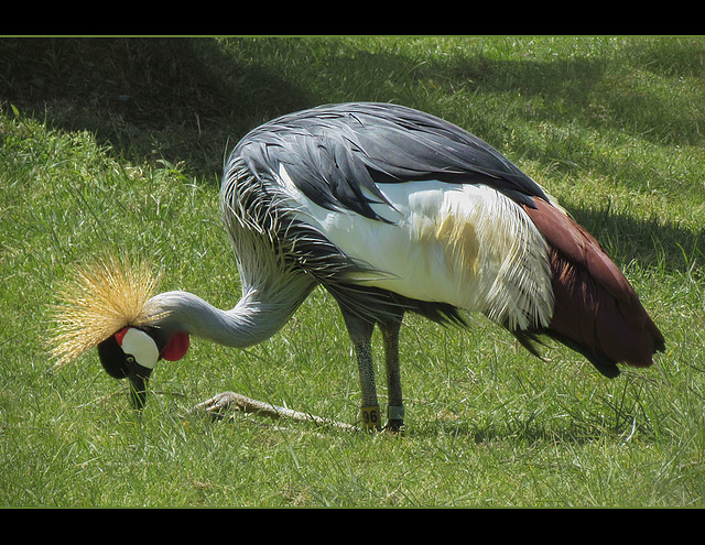 San Francisco Zoo: East African Crowned Crane
