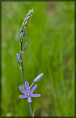 Great Camas: the 83rd Flower of Spring!