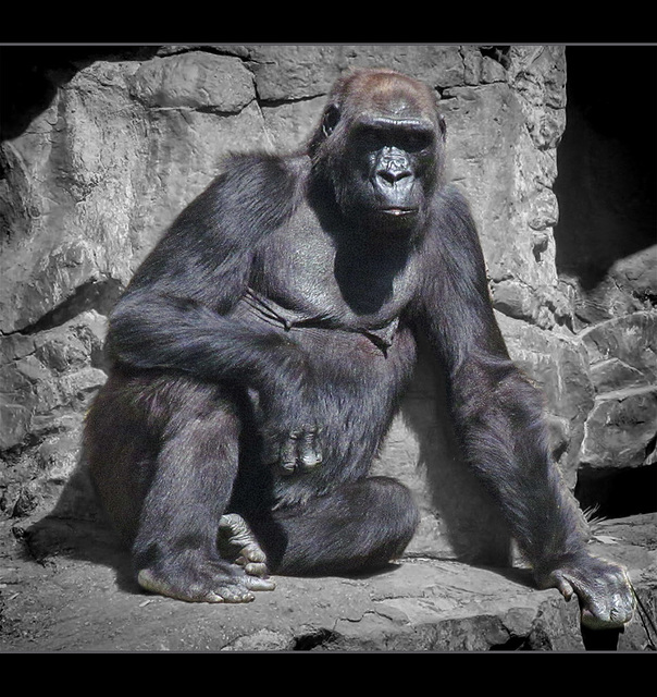 San Francisco Zoo: Gorilla Relaxing in the Afternoon Sunshine