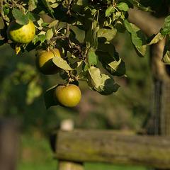Apfelbaum DSC02492