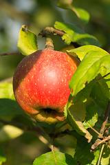 Apfel DSC02482