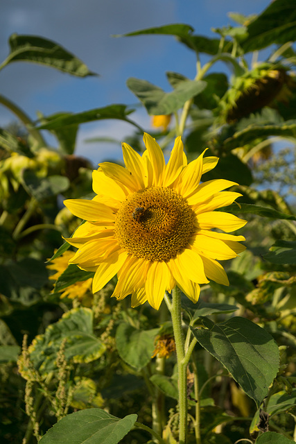 Sonnenblume DSC02479