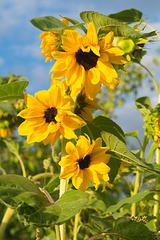 Sonnenblume DSC02477