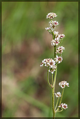 Grassland Saxifrage: The 82nd Flower of Spring and Summer!