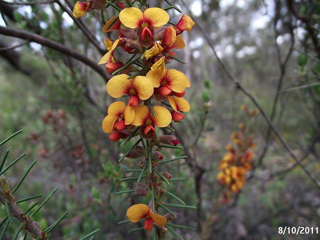 Dillwynia cinerascens