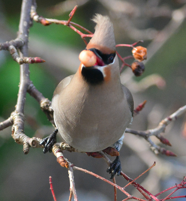 Waxwing eating the last of the berries